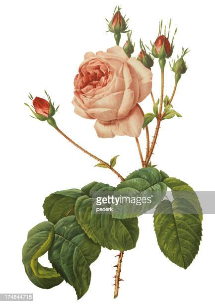 pink rose - antique stock illustrations
