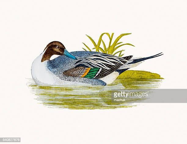 Pintail Duck Waterfowl bird