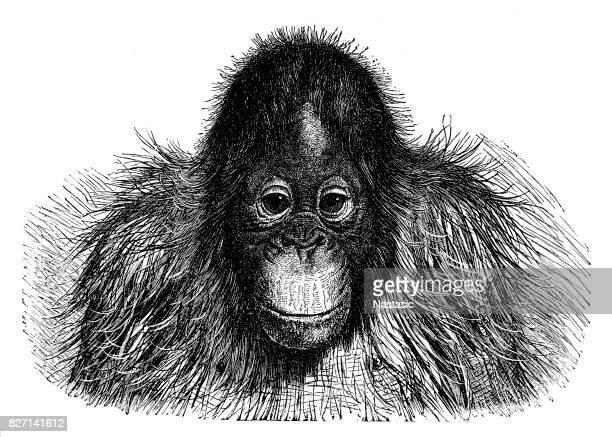 Pithecus Satyrus (den röda eller Asiatic Orang-outang)
