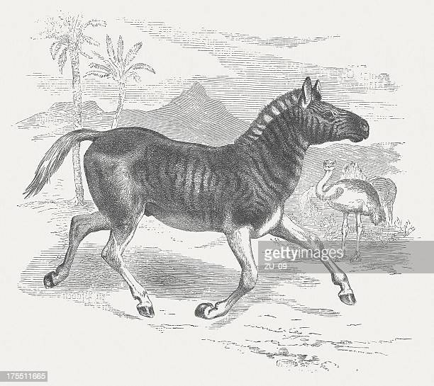 plains zebra (equus quagga), wood engraving, published in 1875 - ostrich stock illustrations, clip art, cartoons, & icons