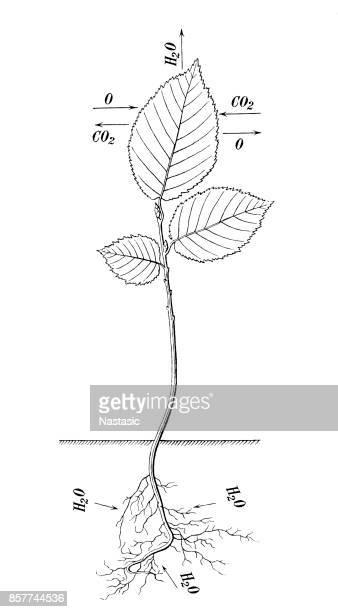 Plant breathing process