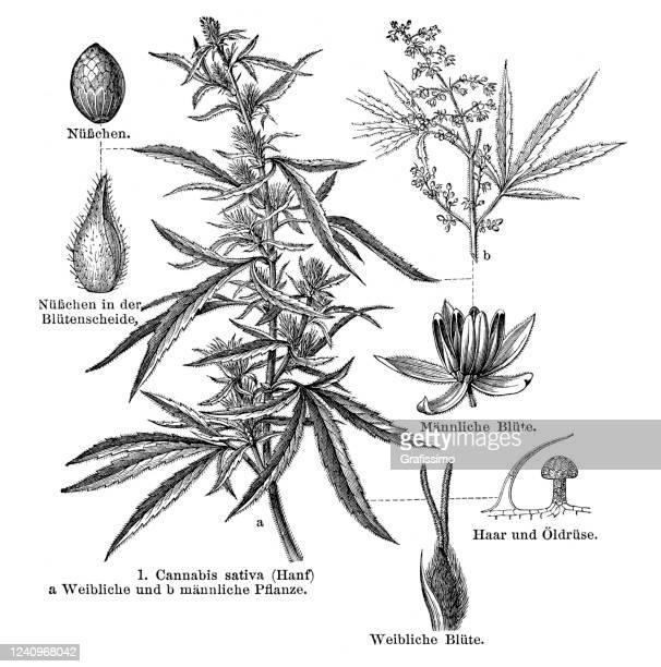 花と葉1897で植物大麻サティバ - カンナビスサティバ点のイラスト素材/クリップアート素材/マンガ素材/アイコン素材