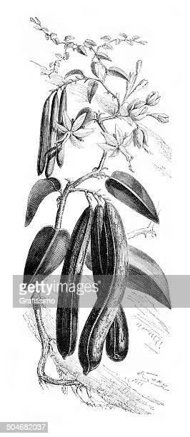 plant of vanilla planifolia 1850 - madagascar stock illustrations, clip art, cartoons, & icons