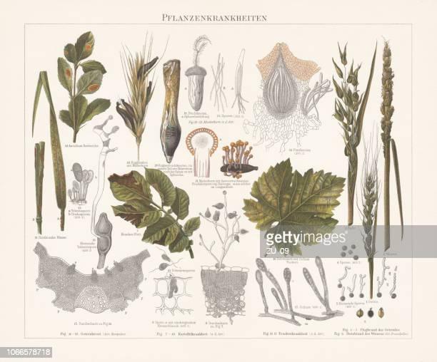 plant pathology (phytopathology), chromolithograph, published in 1897 - spore stock illustrations