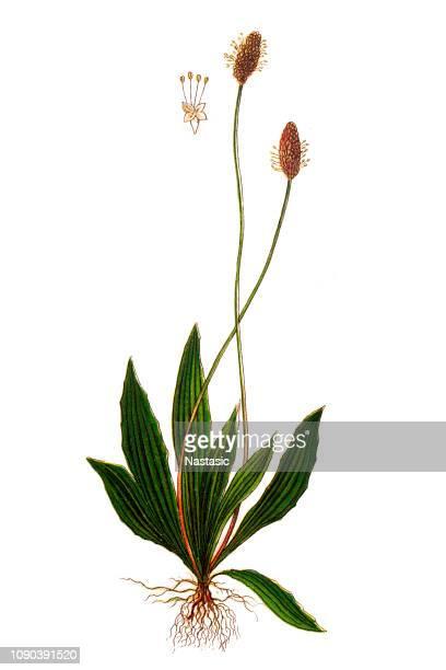 plantago lanceolata ,ribwort plantain, narrowleaf plantain, english plantain, ribleaf and lamb's tongue - english culture stock illustrations