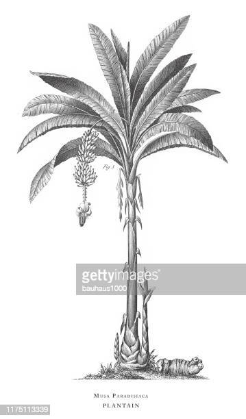 ilustrações de stock, clip art, desenhos animados e ícones de plantain, aromatic plants engraving antique illustration, published 1851 - folha de bananeira
