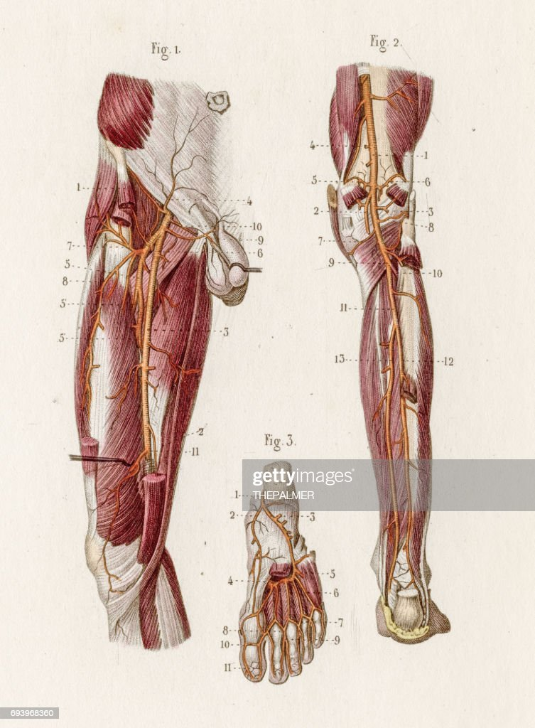 Plantar Arteries Anatomy Engraving 1886 Stock Illustration Getty