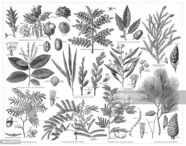 日焼け材料 1895 の生産のための植物 - アカシア点のイラスト素材/クリップアート素材/マンガ素材/アイコン素材