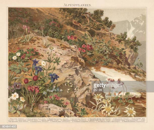 plants of the european alps, lithograph, published in 1897 - ranunculus stock illustrations, clip art, cartoons, & icons