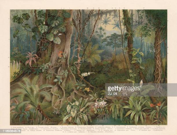 plants of the rainforest, chromolithograph, published in 1898 - chromolithograph stock illustrations