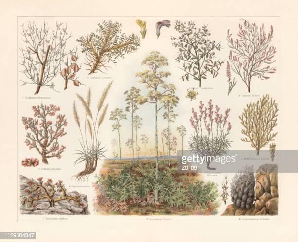 大草原、chromolithograph、1897 年に公開の植物 - アカシア点のイラスト素材/クリップアート素材/マンガ素材/アイコン素材