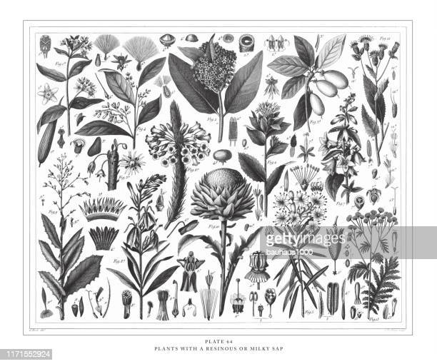 plants with a resinous or milky sap engraving antique illustration, published 1851 - tansy stock illustrations