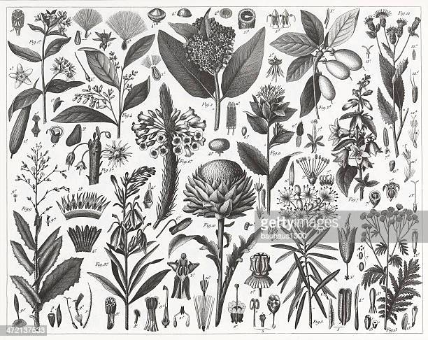 plants with resinous or milky sap engraving - tansy stock illustrations