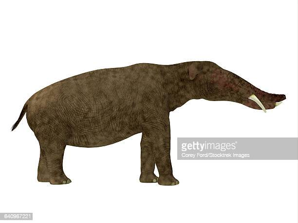 Platybelodon mammal, side view.