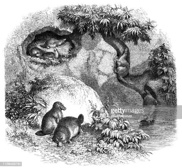 platypuses in australia - 19th century - australia day stock illustrations