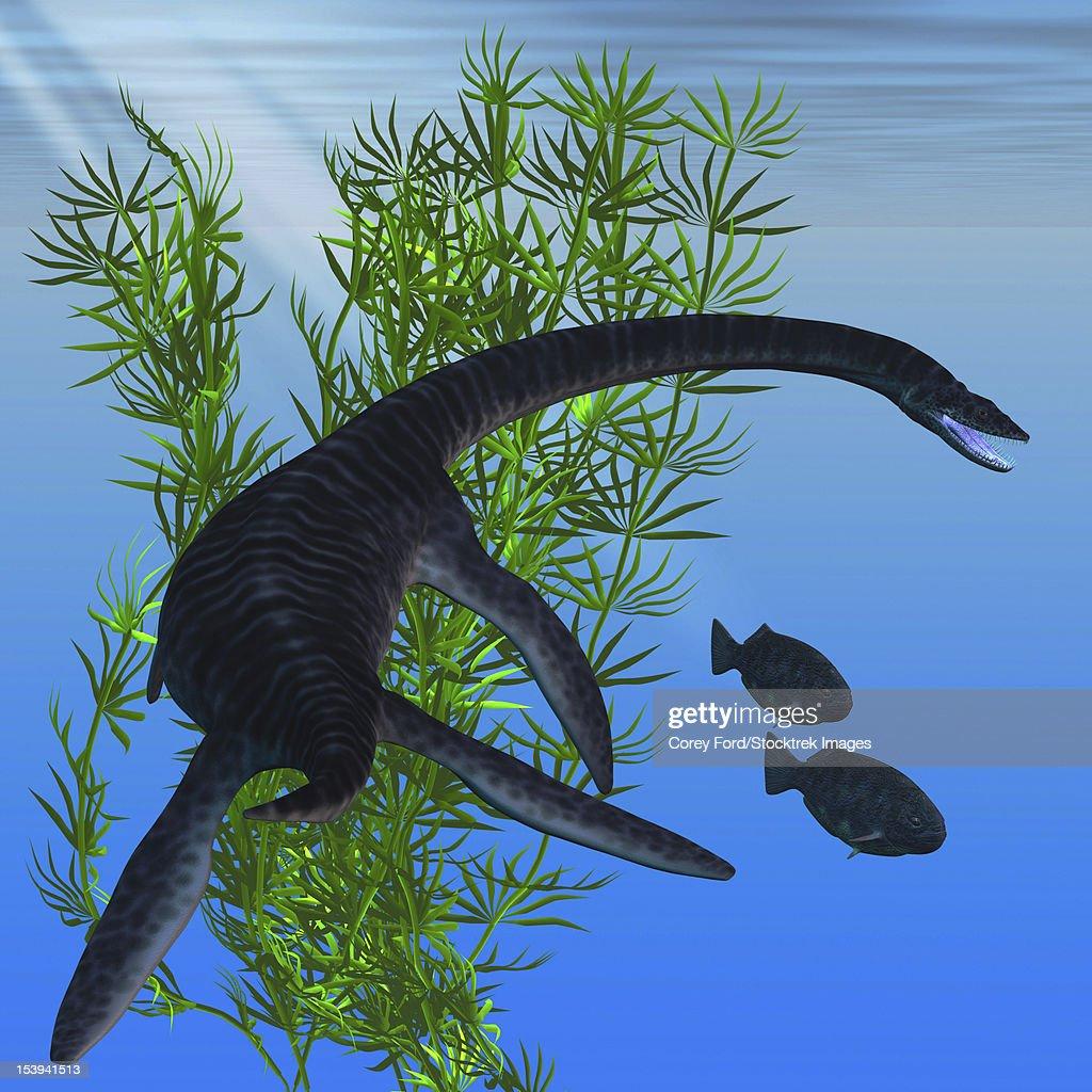 A Plesiosaurus dinosaur turns to go after two Dapedius fish from the Jurassic Era. : stock illustration