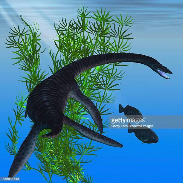 A Plesiosaurus dinosaur turns to go after two Dapedius fish from the Jurassic Era.