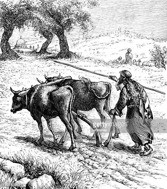 ploughing in palestine - victorian engraving - wild cattle stock illustrations, clip art, cartoons, & icons