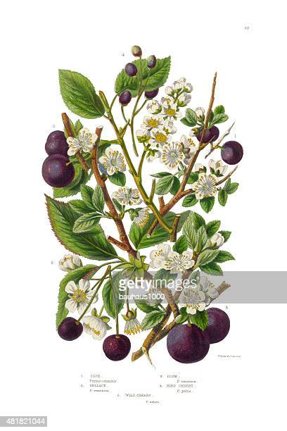 Plum, Cherry, Sloe and Bullace Victorian Botanical Illustration
