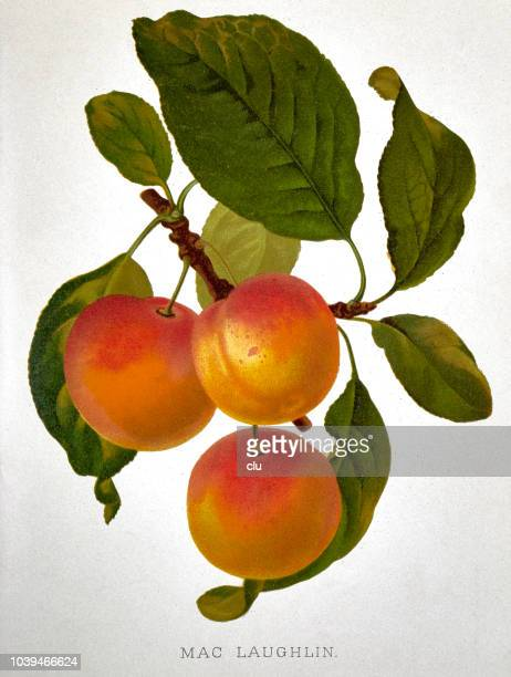 Plum with green leaves on white background