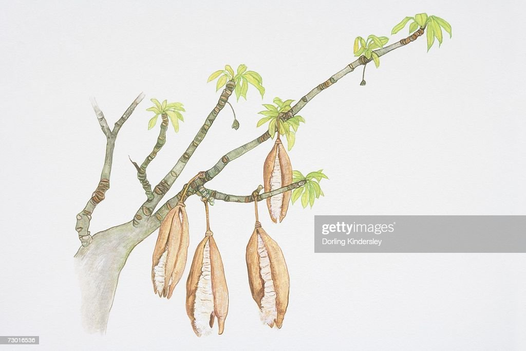 Pods Hanging From Branches Of Ceiba Pentandra Kapok Tree