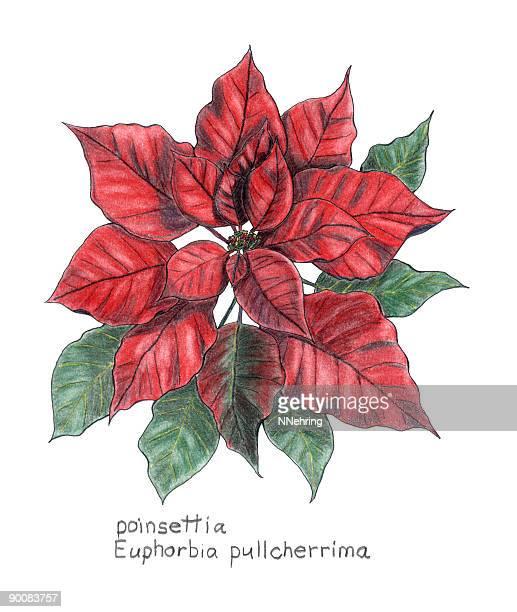 ilustraciones, imágenes clip art, dibujos animados e iconos de stock de flor de nochebuena, euphorbia pulcherrima, botanical dibujo a lápiz de colores - flor de pascua
