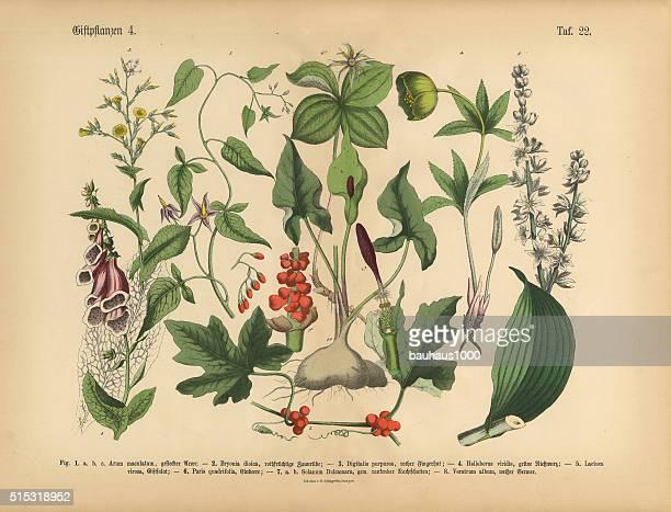 有害物質や毒性植物、ビクトリア朝の植物イラストレーション - ヘレボルス点のイラスト素材/クリップアート素材/マンガ素材/アイコン素材