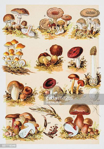 poisonous mushrooms chromolithograph 1884 - edible mushroom stock illustrations, clip art, cartoons, & icons