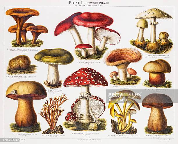 poisonous mushrooms chromolithograph 1896 - edible mushroom stock illustrations, clip art, cartoons, & icons