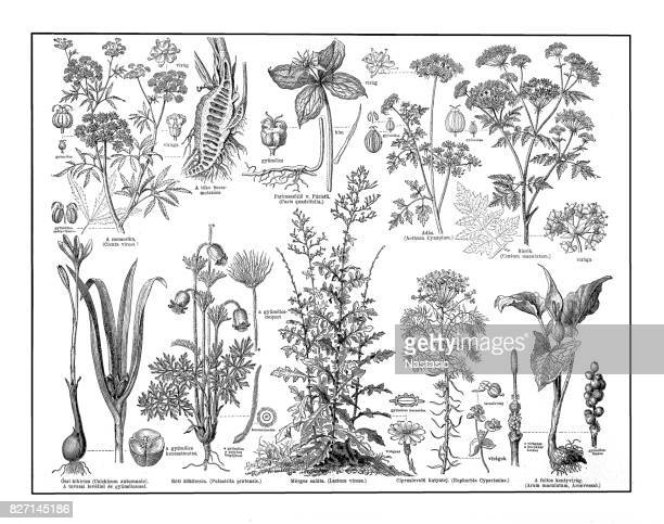 poisonous plants - parsnip stock illustrations, clip art, cartoons, & icons
