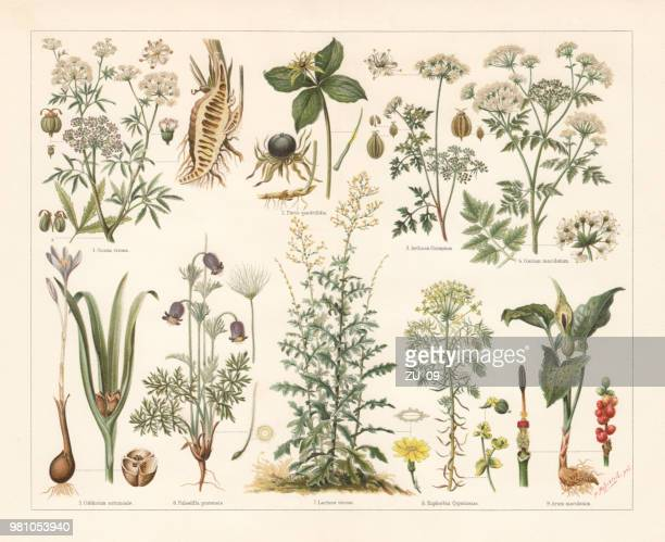 poisonous plants, lithograph, published in 1897 - calla lily stock illustrations, clip art, cartoons, & icons