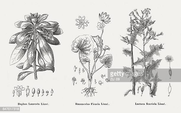 poisonous plants: spurge-laurel, lesser celandine, prickly lettuce, published in 1841 - thistle stock illustrations, clip art, cartoons, & icons