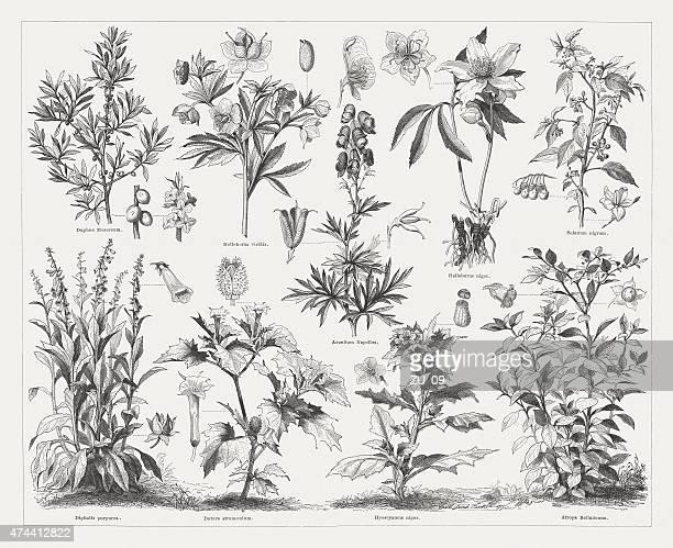 された毒を持つ植物に 1876 - カリフォルニアバイケイソウ点のイラスト素材/クリップアート素材/マンガ素材/アイコン素材