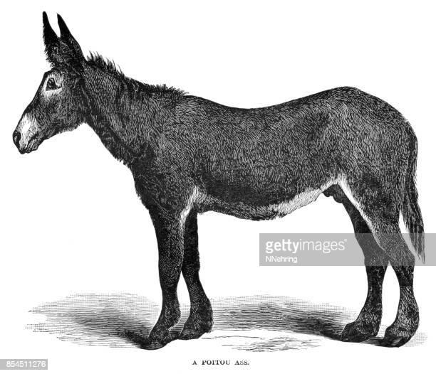 poitou ass or poitou donkey - {{asset.href}} stock illustrations
