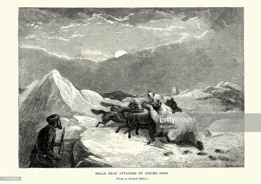Polar Bear attacked by Eskimo dogs, 19th Century : stock illustration