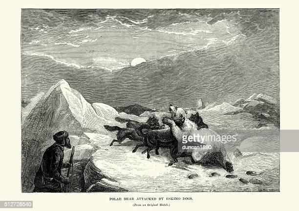 Polar Bear attacked by Eskimo dogs, 19th Century