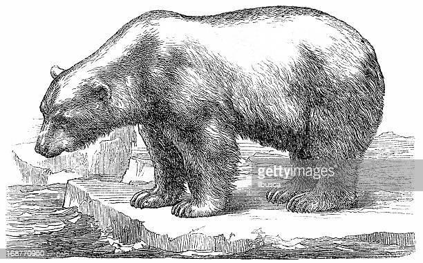 illustrations, cliparts, dessins animés et icônes de ours polaire (ursus maritimus - ours polaire