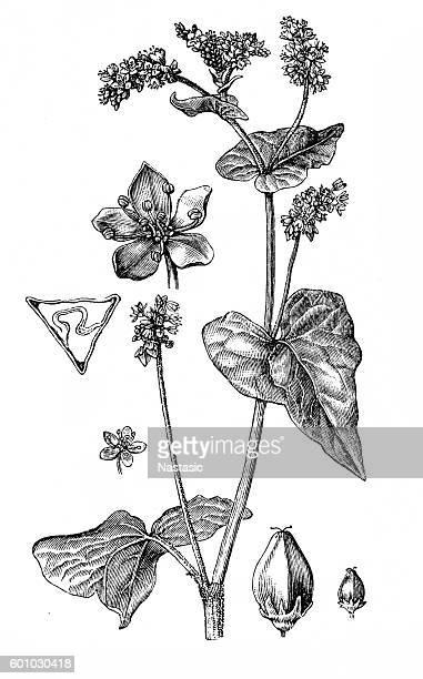 polygonum fagopyrum - buckwheat stock illustrations