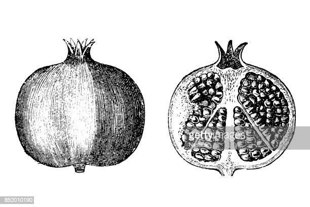 pomegranate fruit - engraved image stock illustrations, clip art, cartoons, & icons