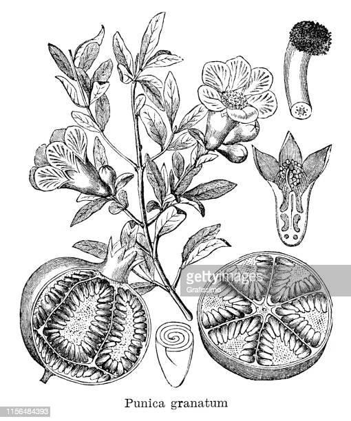 pomegranate punica granatum illustration 1885 - history stock illustrations