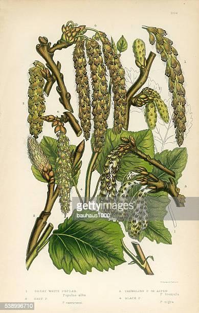 poplar, white poplar, grey poplar, aspen, victorian botanical illustration - aspen tree stock illustrations, clip art, cartoons, & icons