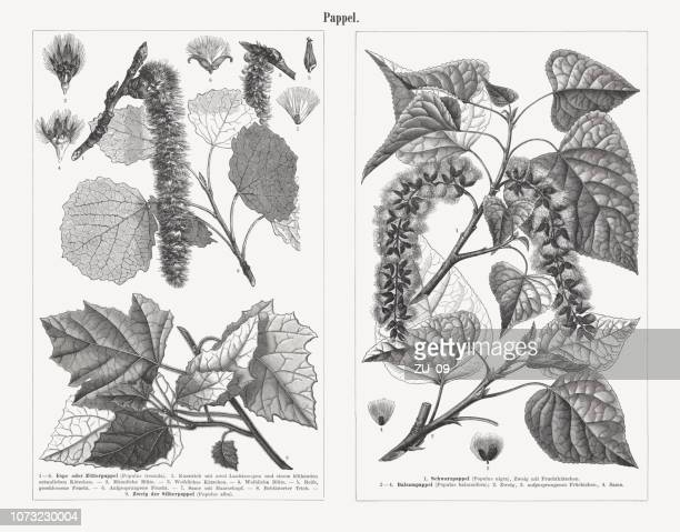 poplars, wood engravings, published in 1897 - brussels sprout stock illustrations, clip art, cartoons, & icons
