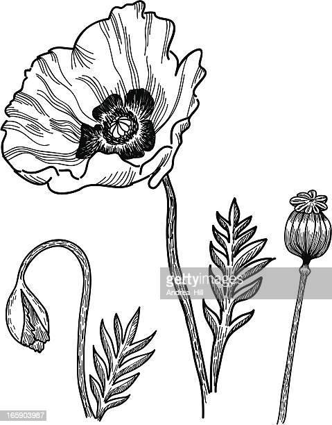 poppies - poppy plant stock illustrations, clip art, cartoons, & icons