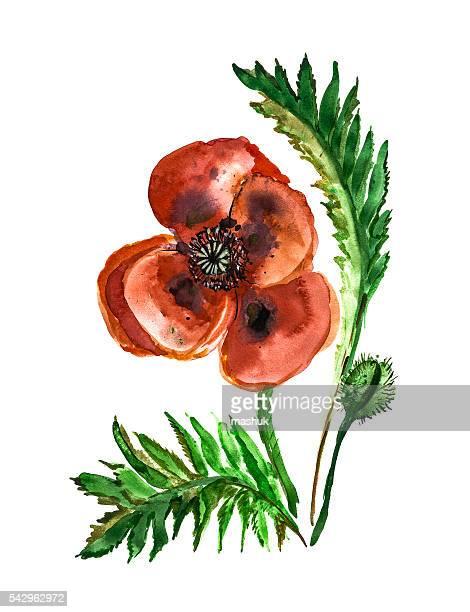poppy flower watercolor - oriental poppy stock illustrations, clip art, cartoons, & icons