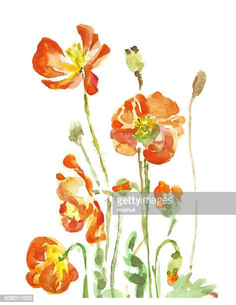 poppy flowers watercolor hand painting - poppy plant stock illustrations, clip art, cartoons, & icons
