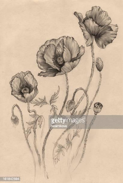 poppy, (black-and-white) - poppy plant stock illustrations, clip art, cartoons, & icons