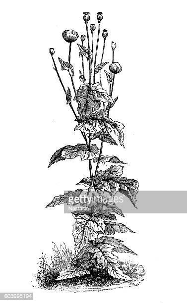 poppy (papaver somniferum) - opium poppy stock illustrations