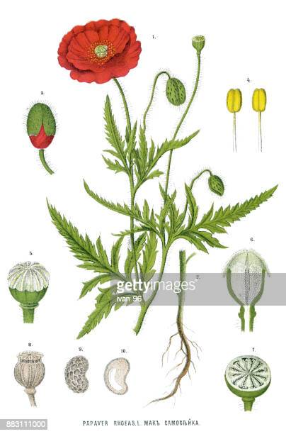 poppy - poppy stock illustrations, clip art, cartoons, & icons