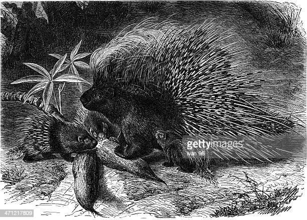 porcupine - animal spine stock illustrations, clip art, cartoons, & icons