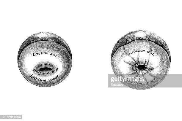 illustrazioni stock, clip art, cartoni animati e icone di tendenza di portio vaginale uteri - organo riproduttivo femminile